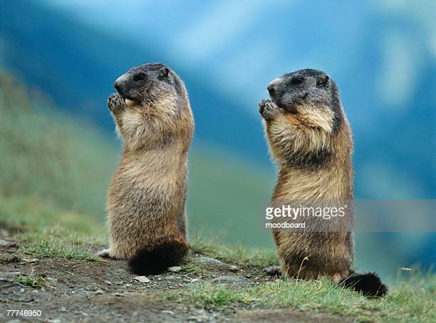 two marmots - woodchuck stock pictures, royalty-free photos & images