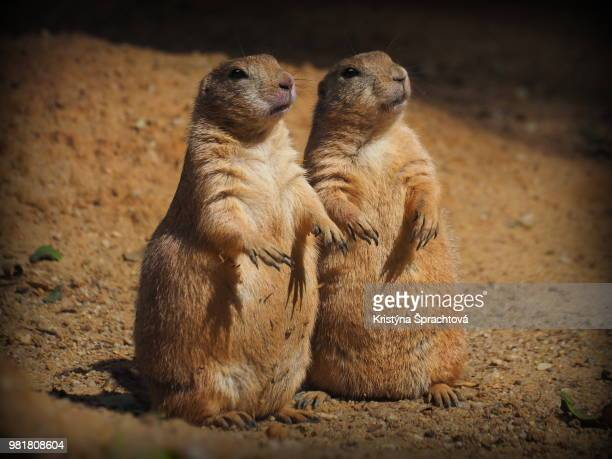 two marmots - prairie dog stock pictures, royalty-free photos & images