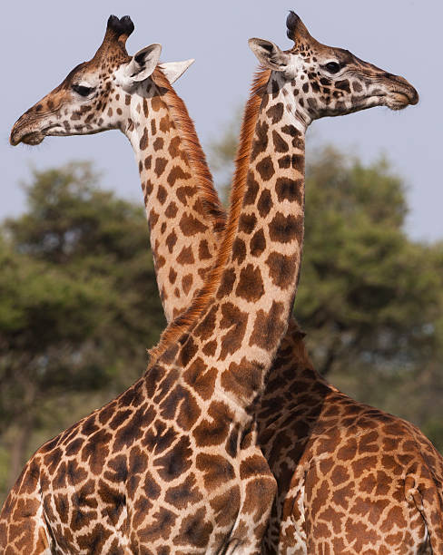 Two Masai Giraffe Looking Away From Each Other In Serengeti National Park, Tanzania Wall Art