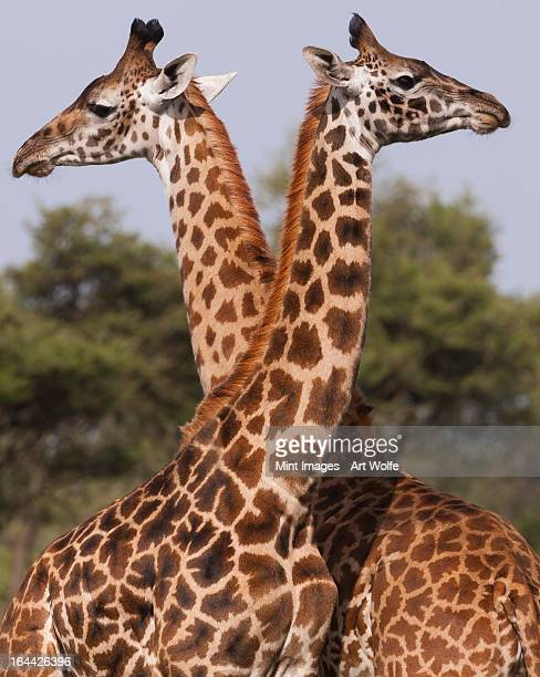 Two masai giraffe looking away from each other in Serengeti National Park, Tanzania