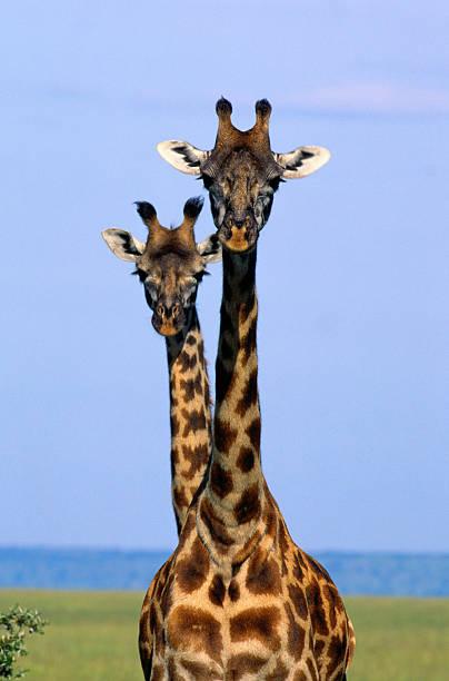 Two Masai Giraffes (Giraffa camelopardalis tippelskirchi),Kenya