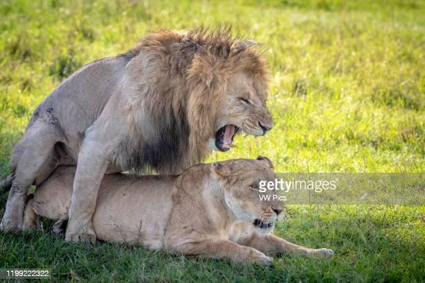 Two mating lions in Maasai Mara National Park Kenya Africa male is named Chongo