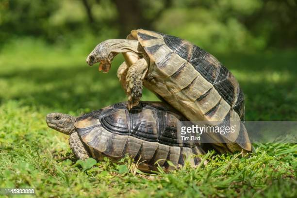 Two mating tortoises in a park in Athens, Greece.