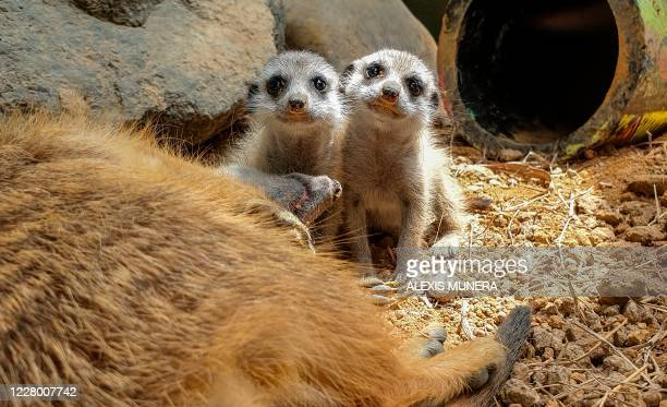 Two meerkat pups remain next to their mother at the Ukumari Biopark in Pereira, in western Colombia, on August 7, 2020. - A zoo in the coffee-growing...