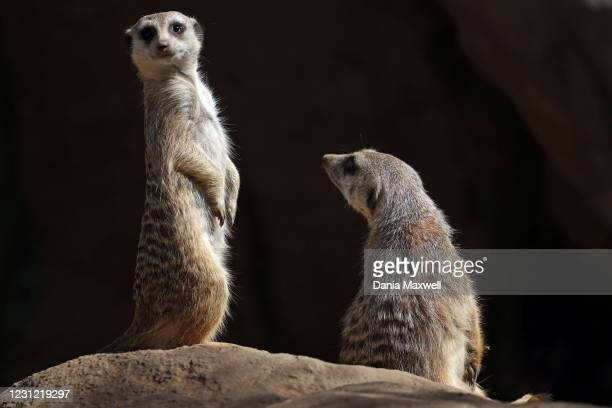 Two meerkats are seen at the Los Angeles Zoo on reopening day after being closed for nearly three months on Tuesday, Feb. 16, 2021 in Los Angeles,...