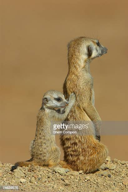 two meerkat's (surcata surcata) cuddling - massage funny stock pictures, royalty-free photos & images