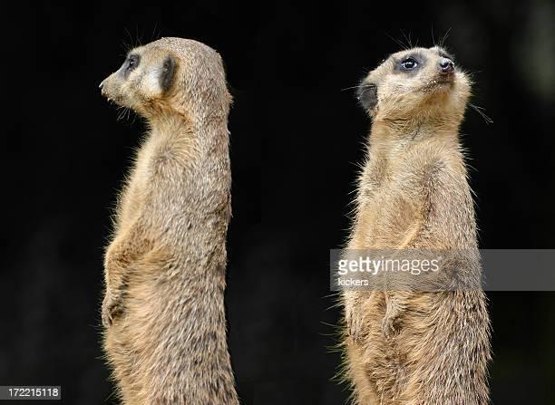 Two meerkats facing opposite sides depicting divorce