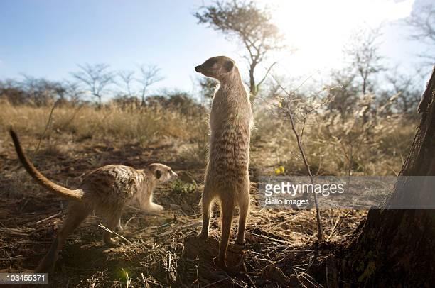 Two Meerkats (Suricata Suricatta) in bushveld, Namibia