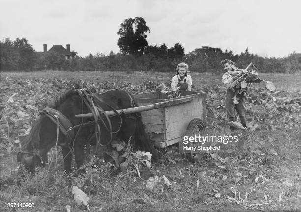 Two Members of the Women's Land Army use a pony and a repurposed ice cream cart to harvest kale for animal fodder on 5th October 1944 at Duval...