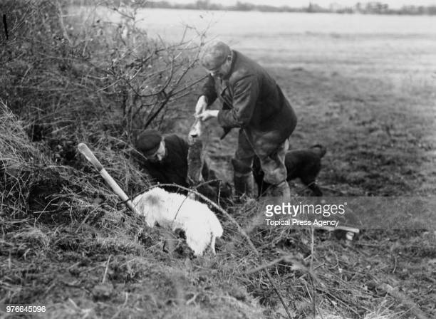 Two men digging out a rabbit during a hunt near BurnhamonCrouch Essex 29th January 1908