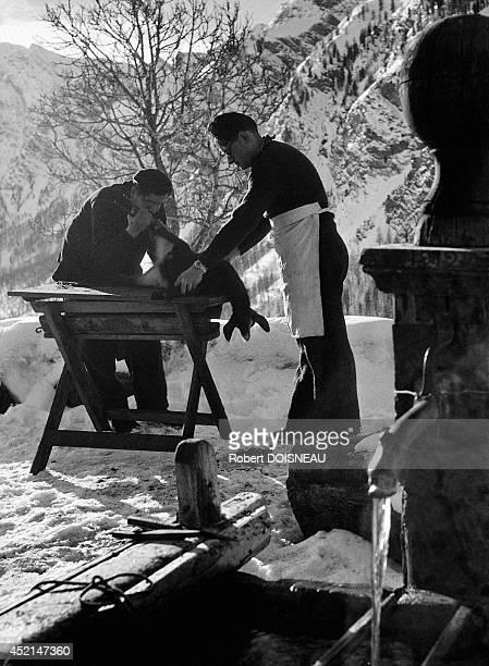 Two men doing a bleeding on a baby goat 1947 in Saint Veran HautesAlpes France