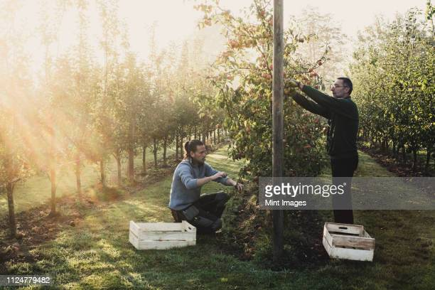 two men in apple orchard, picking apples from tree. apple harvest in autumn. - picking stock pictures, royalty-free photos & images