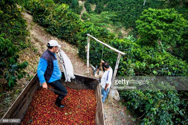 two men load freshly picked cherries into the back of a truck on a coffee farm in colombia. - colombia land stockfoto's en -beelden