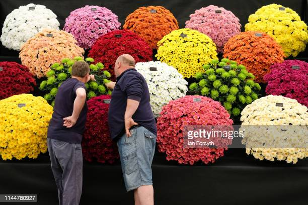 Two men make the final adjustments to a display of Chrysanthamum during staging day for the Harrogate Spring Flower Show held at the Great Yorkshire...