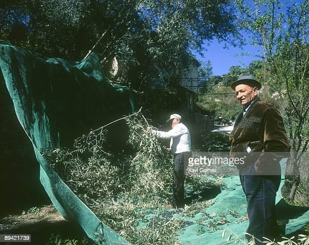 Two men pick up olives in Lajaron Granada