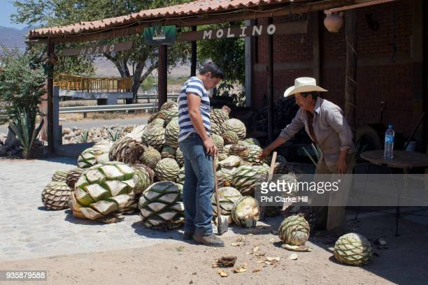 Two men processing agave catcus When the agave is harvested it is cut into 'pineapples' before being crushed for fermentation Oaxaca in southern...