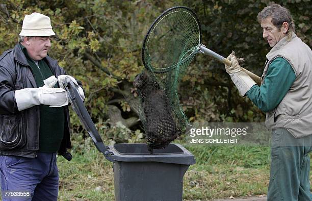 Two men put a recaptured mink in a bin after it and more than 10,000 others were released from a breeding facility in the eastern German town of...