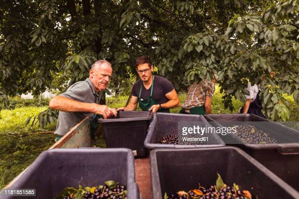 two men putting a box with cherries on trailer during harvest in orchard - baden württemberg stock-fotos und bilder