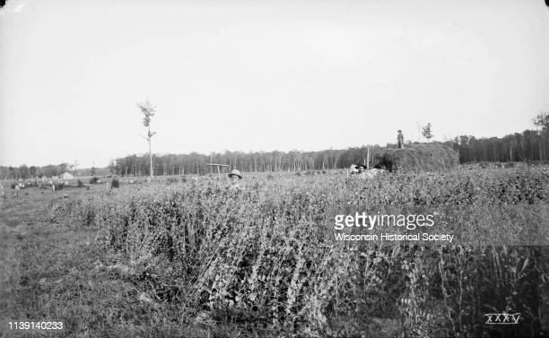 Two men stand in the fivefoot tall pea field of Joseph Seipold three miles northeast of Antigo Antigo Wisconsin July 30 1895 Another man stands atop...