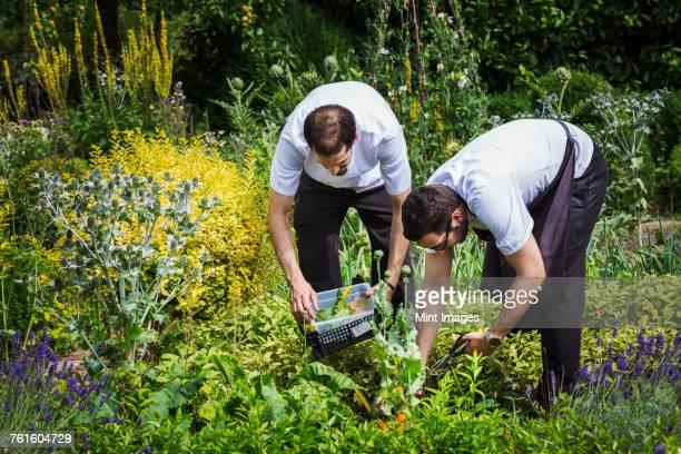 Two men standing in a kitchen garden, picking plants.