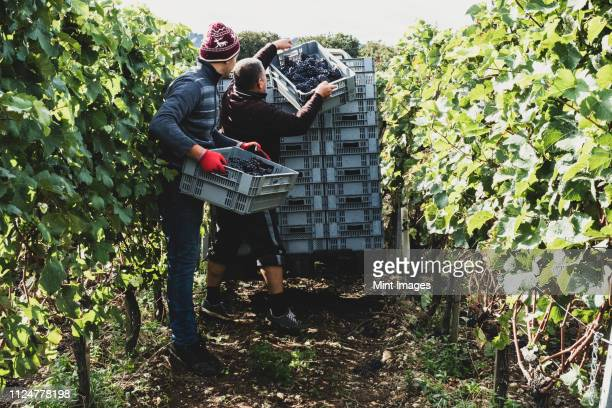 two men standing in a vineyard, harvesting bunches of black grapes, stacking grey plastic crates. - grape harvest stock pictures, royalty-free photos & images