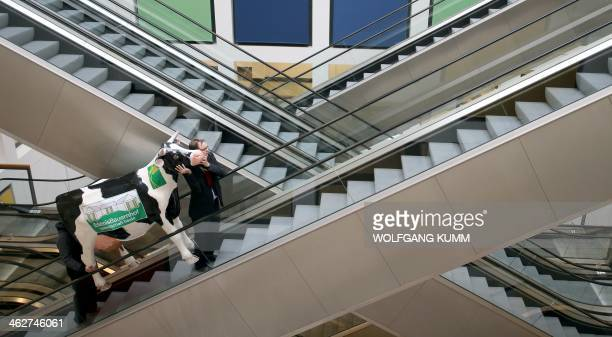 Two men transport a fake cow on an escalator as part of the preparations for the agricultural fair 'Gruene Woche' in Berlin Germany on January 15...