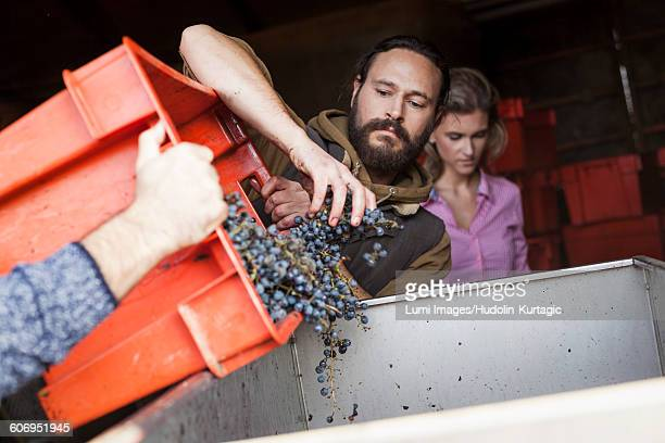 Two men unloading grapes into container in vineyard