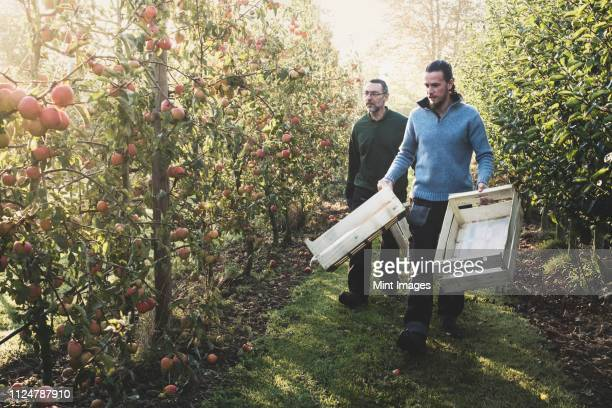 two men walking in apple orchard, carrying wooden crates. apple harvest in autumn. - cultivated land stock pictures, royalty-free photos & images
