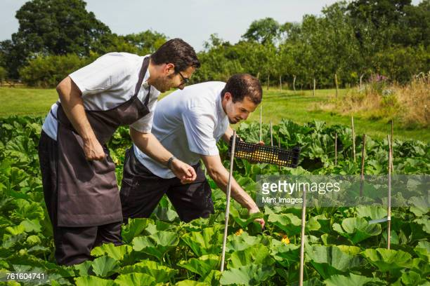 Two men wearing aprons standing in a kitchen garden, picking vegetables.