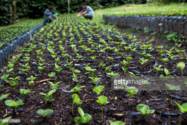 Two men work with young coffee plants on a farm in rural Colombia.