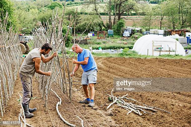 two men working in a vegetable garden sorting and tying in pea sticks as plant supports. - mint plant family fotografías e imágenes de stock