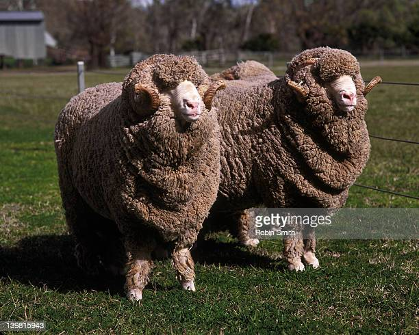 Two merino rams, NSW, Australia