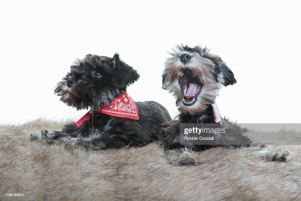 Two Miniature Schnauzer Puppies Looking Away From The Camera On A White Backdrop High Res Stock Photo Getty Images