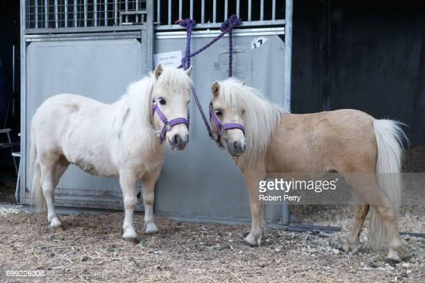 Two miniature Shetland Ponies before the 177th Royal Highland Show on June 21 2017 in Edinburgh Scotland The Royal Highland Show is Scotland's annual...