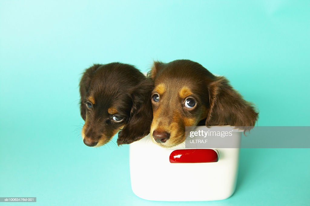 Two Miniaturedachshund Puppies In Cake Tin High Res Stock Photo Getty Images