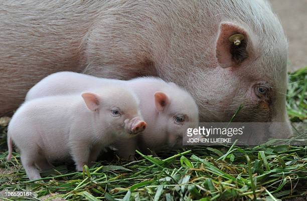 Two minipig piglets stand next to their mother on September 23 2011 at the zoo in Hanover central Germany Adult mini pigs reach a weight of up to 70...