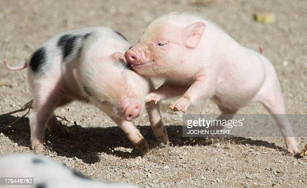 Two minipigs play in their enclosure at the zoo in Hanover central Germany on August 13 2013 Minipig mother Marianne gave birth to ten baby minipigs...