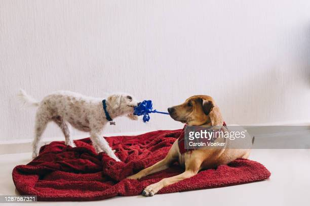 two mixed-breed dogs tearing on a blue ribbon during play - dogs tug of war stock pictures, royalty-free photos & images