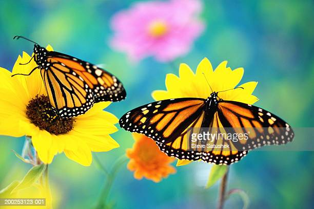 two monarch butterflies (danaus plexippus) on sunflowers - two animals stock pictures, royalty-free photos & images