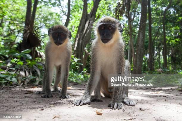 Two Monkeys, Africa