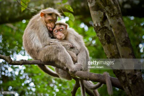 two monkeys hugging on tree branch, suruli falls, india - primate stock pictures, royalty-free photos & images