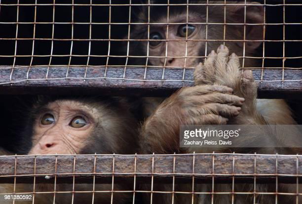 two monkeys in a cafe in halong bay, vietnam. - animales en cautiverio fotografías e imágenes de stock