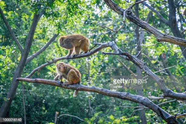 two monkeys - バーバリーマカク ストックフォトと画像