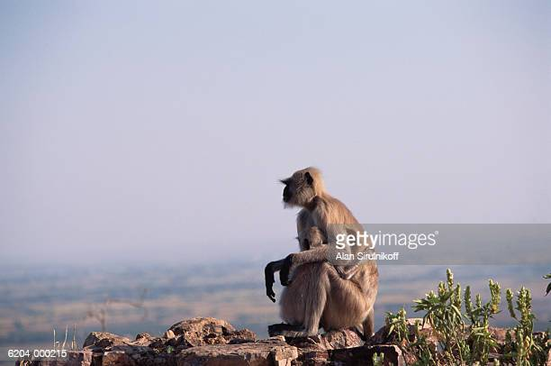 two monkeys sitting on rock - sirulnikoff stock photos and pictures
