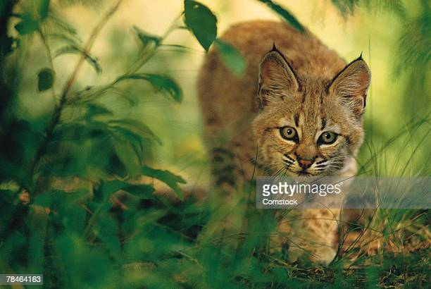 two month old bobcat kitten in foliage , montana - bobcat stock pictures, royalty-free photos & images