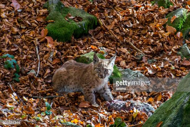 Two month old Eurasian lynx kitten with dead rabbit prey in autumn forest near den
