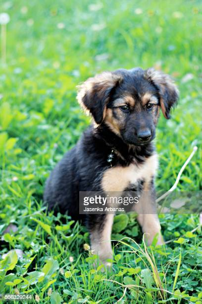 Two month old German shepherd puppy