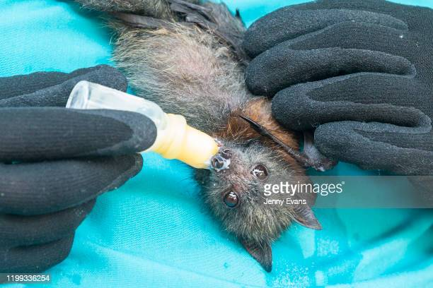 Two month old Grey-Headed Flying Fox is bottle fed during a tour of the Taronga Zoo's Wildlife Hospital at Taronga Zoo on January 14, 2020 in Sydney,...