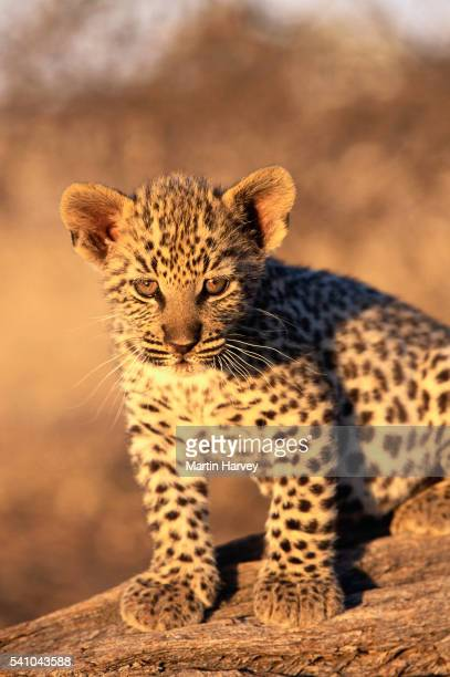 Two Month old Leopard cub