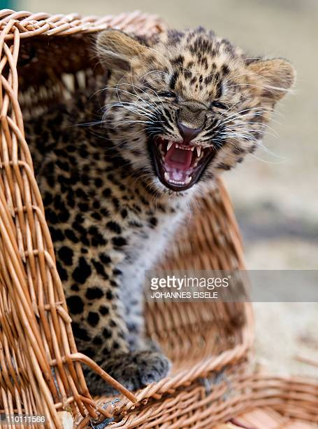 Two month old North China leopard cub Nekama sits in a basket in her enclosure at the Berlin zoo on March 15 2011 Nekama was born on January 7 2011...